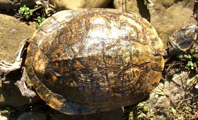 Skildpadde400